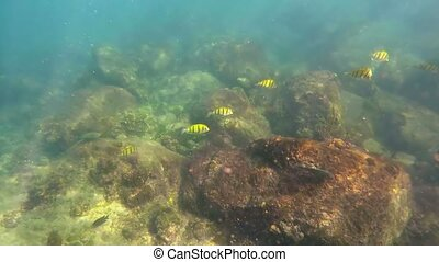 Small School of Yellow Tropical Fish in Natural Habitat. -...