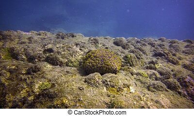 Live Pincushion Starfish in its Natural Habitat. -...