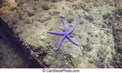 Live Blue Starfish in its Natural Habitat.