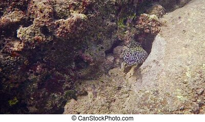 Honeycomb Moray Eel Peeking from a Hole in a Rock. -...