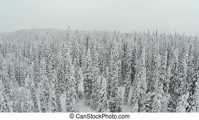 Winter landscape with snow covered pine trees - Flying over...