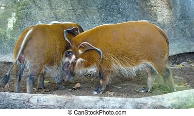Pair of Red River Hogs in their Zoo Enclosure FullHD video -...