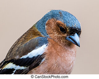 Thoughtful - A closeup of a thoughtful chaffinch Fringilla...