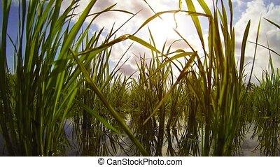Growing rice. Unusual view of herons eyes.