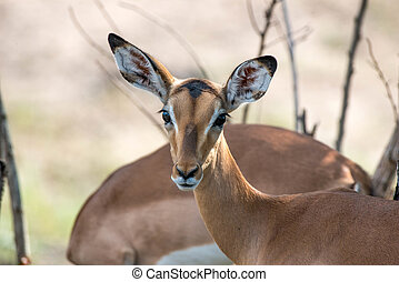 Impala - An impala gives the camera some attention in kruger...