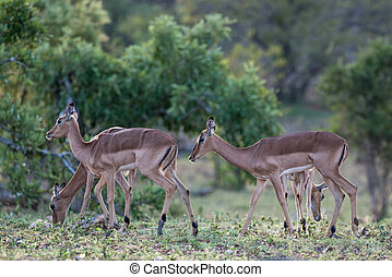 Impala - A group of impala n Kruger National Park, South...