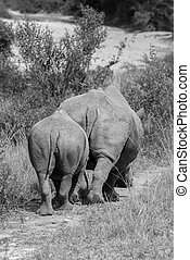 Pair of Rhinos - A mother and baby rhino walk off into the...