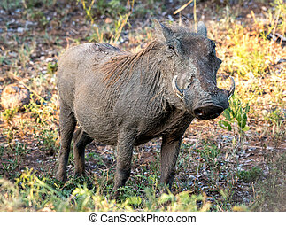 Warthog - A single warthog looking rather dry after a mud...