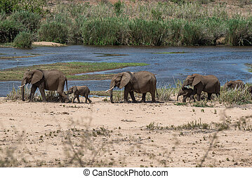Elephant Herd - A line of elephants walking alongside a...