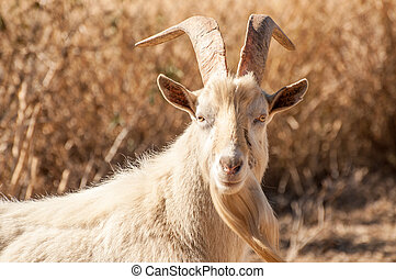 Portrait of a Saanen Billy Goat - Portrait of a white Saanen...
