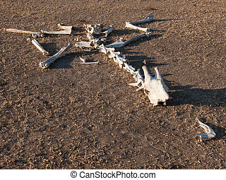 Skeleton of giraffe on ground - The decaying skeleton of a...