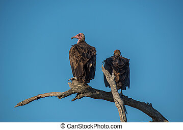 Vultures - A pair of vultures relaxing in the setting sun in...