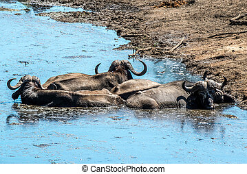 Cape Buffalo - A group of cape buffalo trying to cool off in...