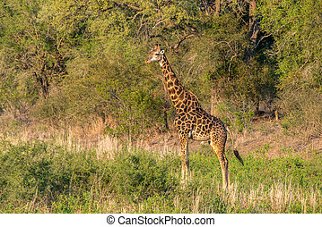 Giraffe Sunset - A beautiful male giraffe relaxing in the...