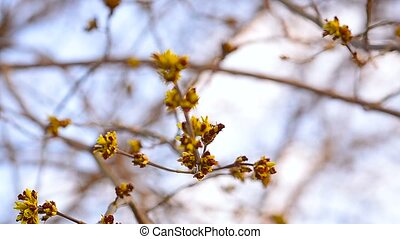 Maple Buds on a tree branch