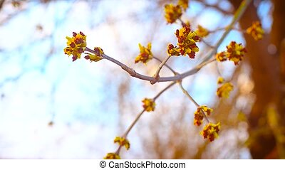 Young buds on a tree branch in the spring - Small young buds...