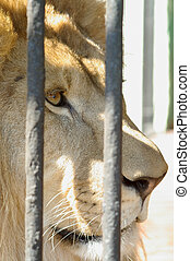 Head of lion in zoo cage. Close up