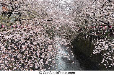 Sakura., Cereza, flor, en, Meguro, Canal.,