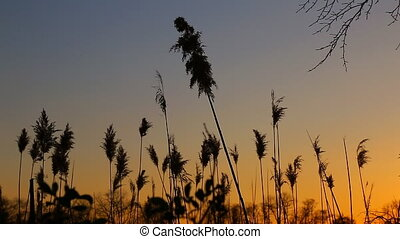 sunset sky clouds bulrush close-up of the reed in the wind...
