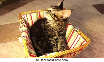 kittens Maine Coon - fun children kittens Maine Coon