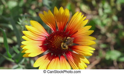Bumblebee on a flower Gaillardia