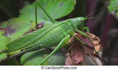 The female green grasshopper - Macro detail of European...