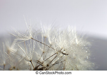 Water drops on dandelion - extreme macro Dandelion seed with...