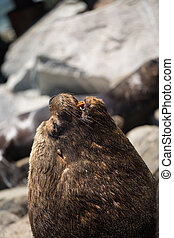 South American fur seals on the coast of Chile