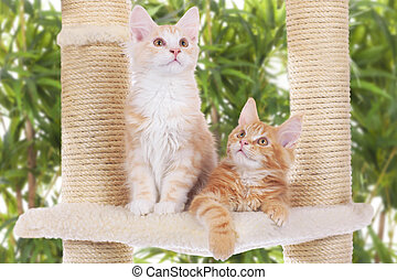 Maine Coon Kitten sitting on scratching post - Two Maine...