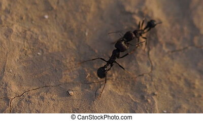 black ants close-up on sand