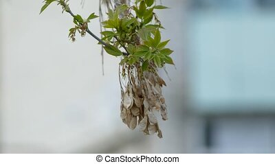 maple dried seeds on a branch of maple spring day - maple...