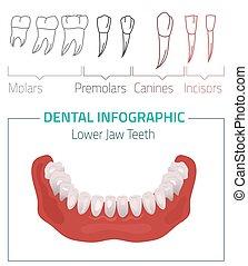 Teeth vector infographic - Human teeth dental infographic...