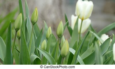 tulip flower in the wild landscape nature - tulip flower in...