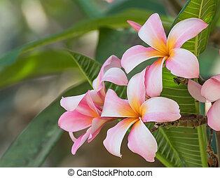 Lan thom flower - Beautiful pink flower in thailand, Lan...