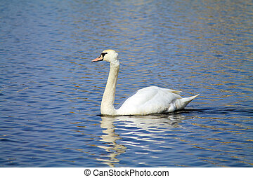 swan on the pond - swan floats on a pond