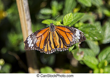 Monarch butterfly from Bai Orchid and Butterfly Farm at...