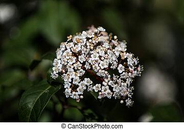 Viburnum tinus - Close view of the flower of Viburnum tinus