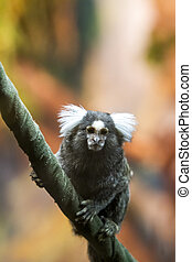Marmoset - Close view of the common marmoset on a branch
