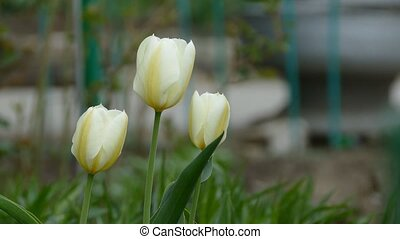 tulip flower in wild  landscape nature