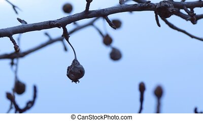 dry branch pear tree, a dried fruit nature evening landscape...