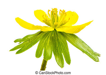Isolated yellow blossom of winter aconite flower Eranthis...