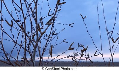 branches of a young birch tree buds spring evening night...