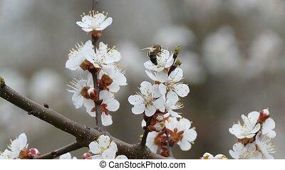 Apricot branch blossom flower spring nature landscape -...