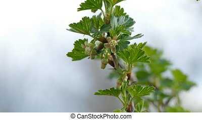 gooseberry leaf buds bud branch bush landscape nature -...