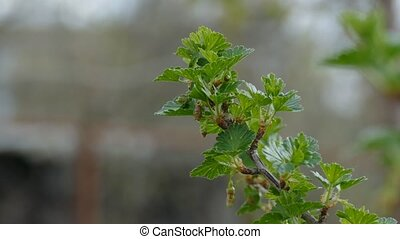gooseberry leaf buds bud branch bush nature landscape -...