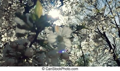 Blooming pear tree branch with lens flare on blue sky...