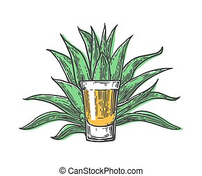 Cactus blue agave with glass tequila. Vintage vector...