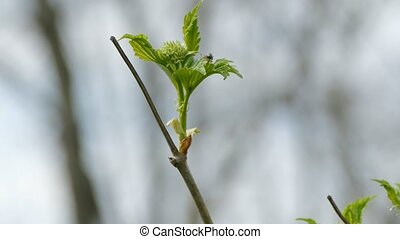Maple branch with leaves and beetle large macro nature spring landscape