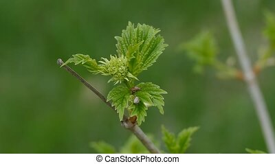 Maple branch  with leaves and beetle large macro nature landscape spring