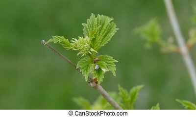Maple branch  with leaves and beetle large macro landscape nature spring